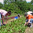 16. Worksharers harvesting young chard