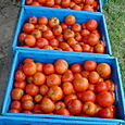 42. Harvested tomatoes