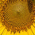 49. Sunflower series -- 3