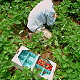 23. Carrie Vaughn picking strawberries for Dupont shareholders